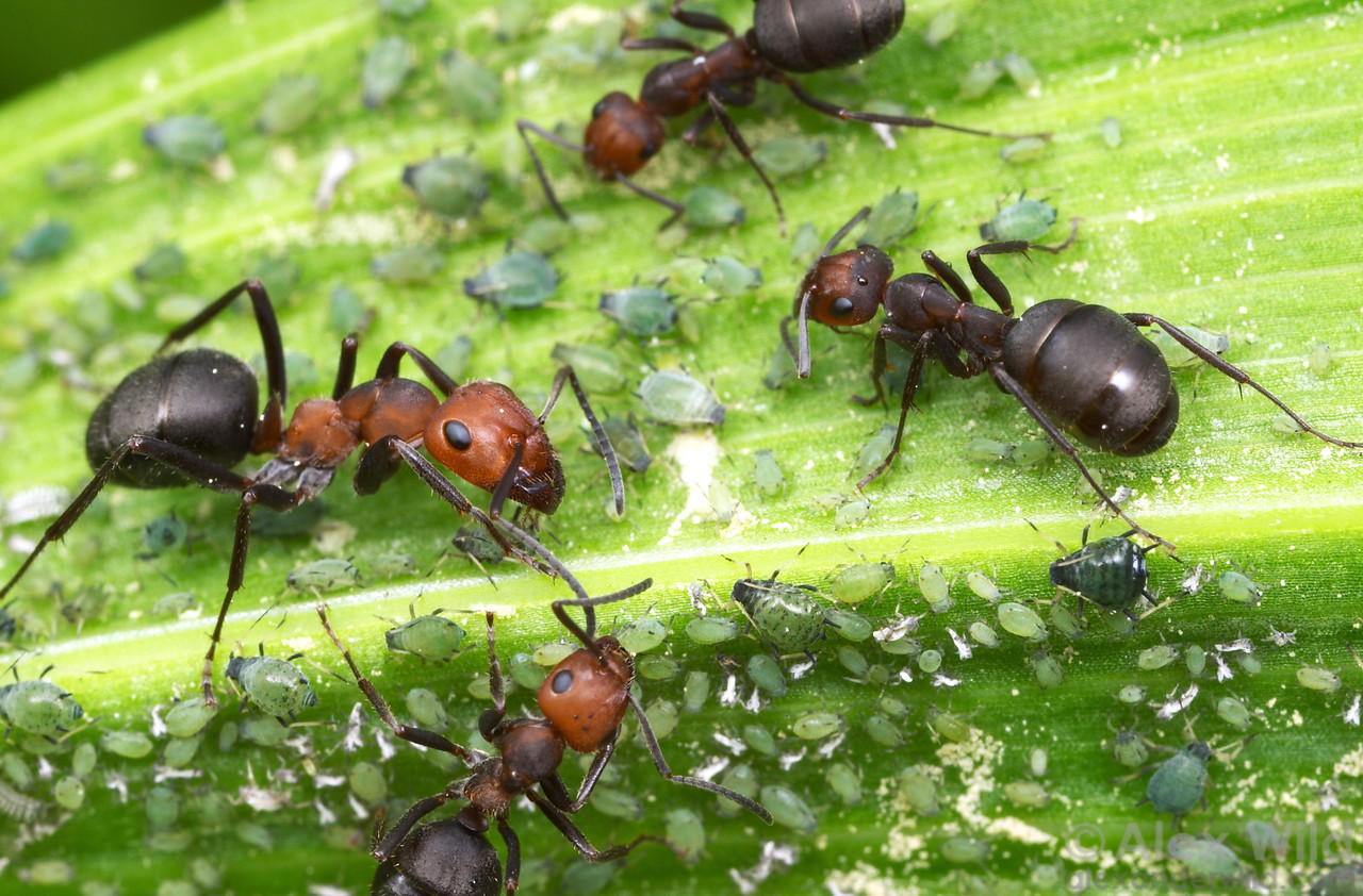 Formica obscuripes mound ants gather honeydew from aphids.  Sagehen Creek, California, USA