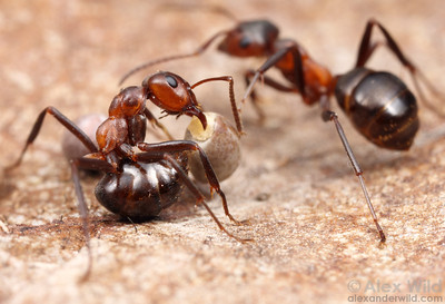 A number of plant species have come to depend on ants to disperse their seeds.  To entice the ants, the seeds have a tasty, lipid-rich structure called an elaiosome at one end, and the ants carry the seed along when then take the elaiosome back to their nest. Here, Formica exsectoides mound ants have found the seeds of leafy spurge, an invasive pest plant whose spread might be facilitated by the ants.  Wisconsin, USA