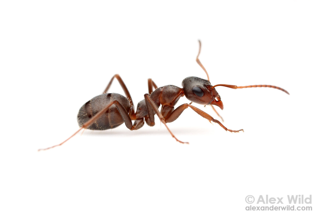Portrait of the prairie mound ant Formica montana