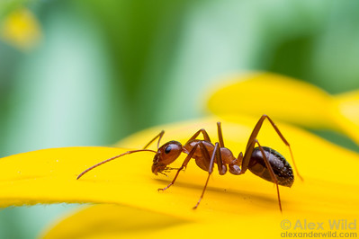 A worker ant (Formica pallidefulva) forages on a black-eyed susan. This ant species is common in urban lawns and gardens throughout eastern North America.  Urbana, Illinois, USA
