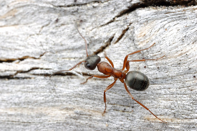 Formica neorufibarbis is an ant adapted to an extremely short growing season.  This species is typically found at high elevations and in boreal forests across North America.  Sagehen Creek, California, USA