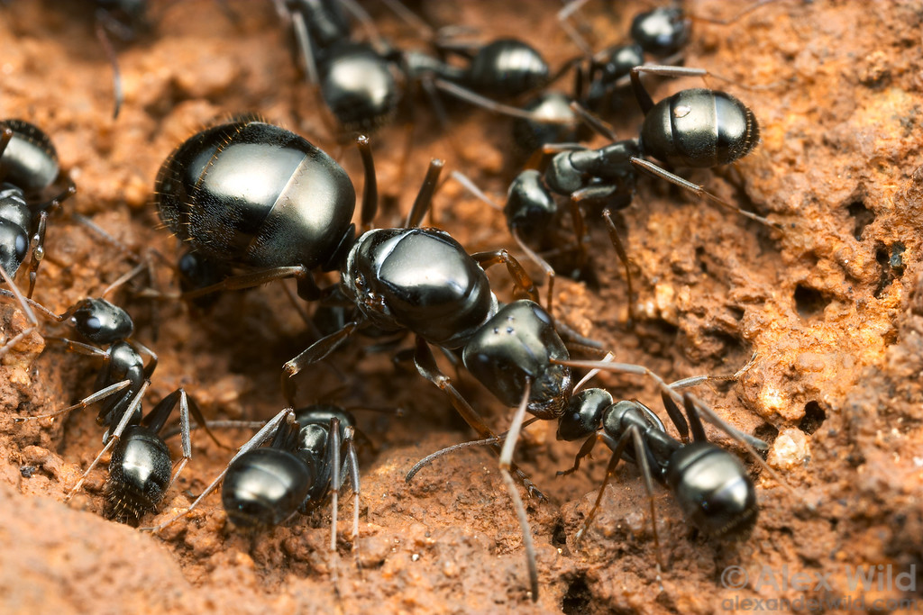 Formica fusca queen and workers in the nest.  Sagehen Creek, California, USA