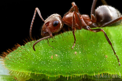 A Formica francoeuri field ant worker tending to a Lycaena xanthoides larva.  The larva produces secretions attractive to ants, and in turn the ants protect the larva from predators and parasites.  San Diego Co., California, USA