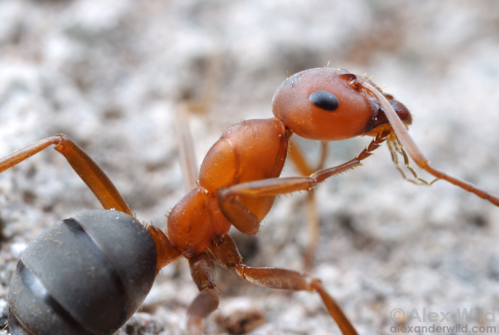 Ants are meticulously clean animals. This Formica densiventris worker grooms her foreleg by passing it through brushes in her mouthparts.  Truckee, California, USA