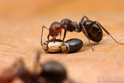 Formica obscuripes ant examining eggs of the Northern Walking Stick Diapheromera femorata.  Ants find the seed-like eggs attractive and may carry them to protected overwintering sites.  Wisconsin, USA