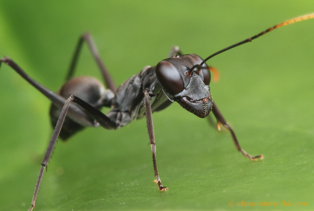 Gigantiops destructor has the largest eyes of any ant.  Archidona, Napo, Ecuador