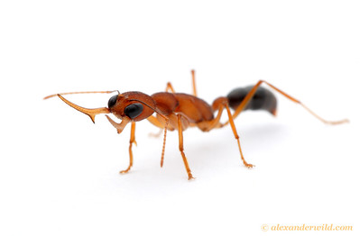 Although most ants hunt by sense of touch and smell, Harpegnathos saltator is a visual predator, spotting prey from a distance and snaring it tiny rows of teeth on the elongate mandibles.  Laboratory colony at Arizona State University, USA