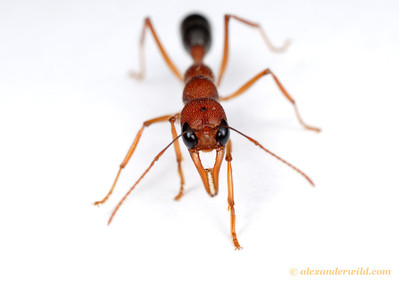 Harpegnathos saltator, the Indian Jumping Ant.  Laboratory colony at Arizona State University, USA