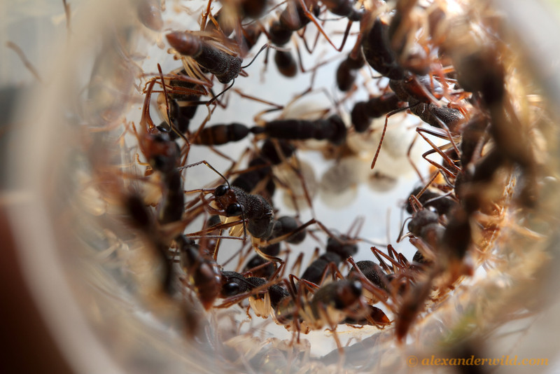 A laboratory colony of Harpegnathos. The queen is in focus in the center-left.  Danum Valley Field Centre, Sabah Borneo
