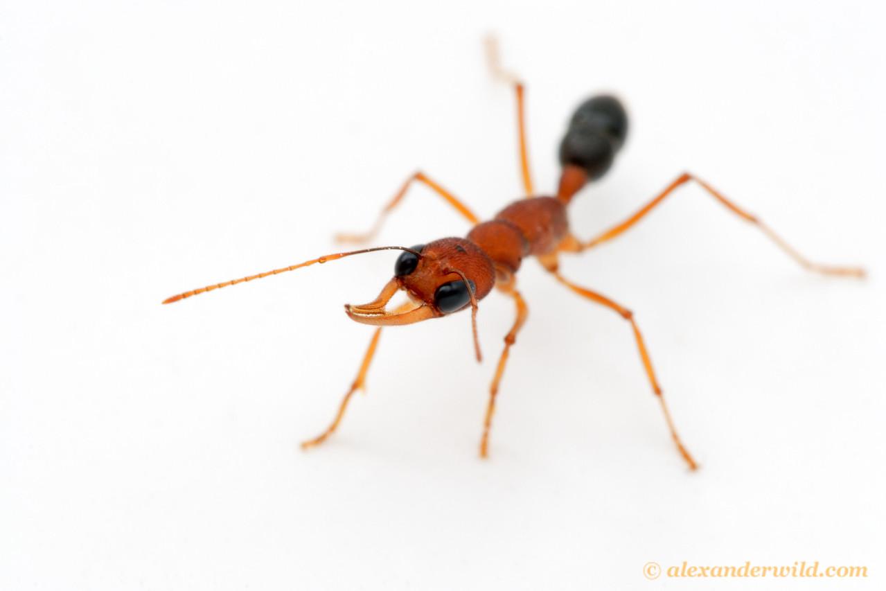 Harpegnathos saltator, the Indian Jumping Ant.  Laboratory colony at Arizona State University, USA