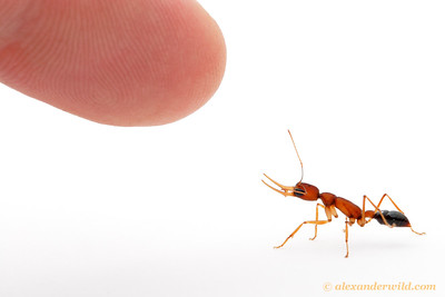 Ant versus finger. (Harpegnathos saltator)   Laboratory colony at Arizona State University, USA