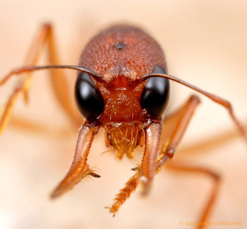 Up close with the Indian jumping ant Harpegnathos saltator.  Both sets of eyes- the large compound eyes for forming images and the small trio of ocelli for judging light levels- are visible in this photo.   Laboratory colony at Arizona State University