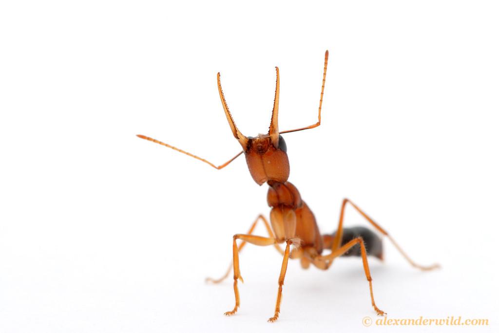 I am ant, hear me roar. (Harpegnathos saltator)  Laboratory colony at Arizona State University
