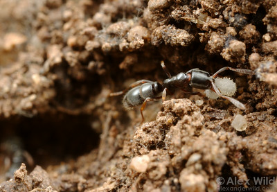 Hypoponera worker carrying a larva in the nest.  Yandoit, Victoria, Australia