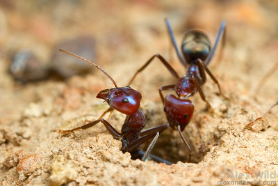 The busy nest entrance of Iridomyrmex purpureus meat ants.  Yandoit, Victoria, Australia