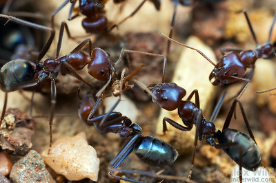 "The scientific name of Australian meat ants is Iridomyrmex, or ""rainbow ants"", referring to their blue-green iridescent sheen. (Iridomyrmex purpureus).  Yandoit, Victoria, Australia"