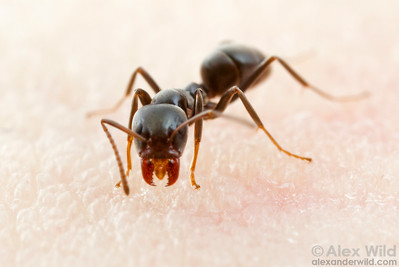 Iridomyrmex alpinus is perhaps the most abundant ant at higher elevations in the Australian alps.  Mt. Buffalo, Victoria, Australia