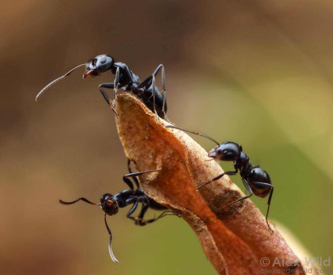 Iridomyrmex calvus