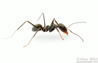 Iridomyrmex bicknelli is among the most common ants in Australia. This small, iridescent ant is abundant in both urban and natural environments.  Yandoit, Victoria, Australia