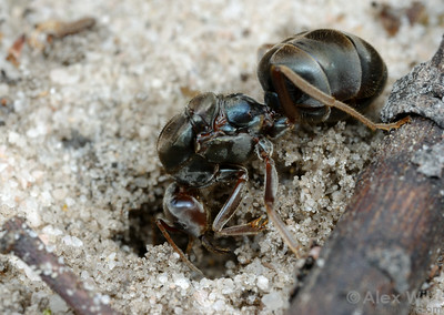 A young meat ant queen (Iridomyrmex purpureus) excavates her first nest.  Little Desert National Park, Victoria, Australia