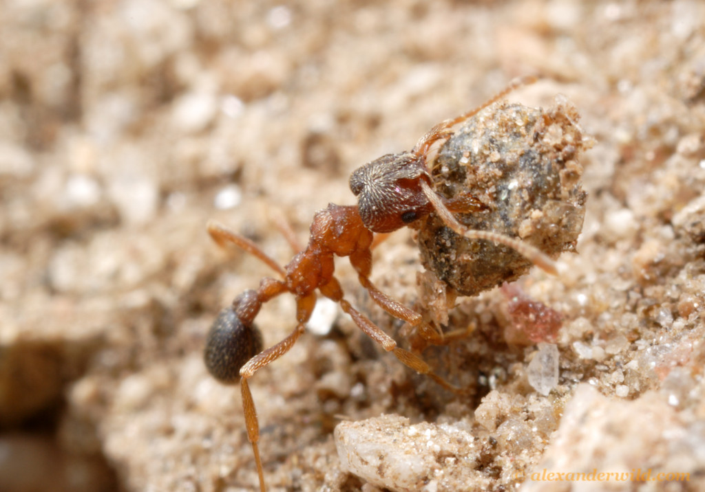 Kalathomyrmex emeryi worker removing a pebble excavated from deep within her nest.  Los Reartes, Córdoba, Argentina