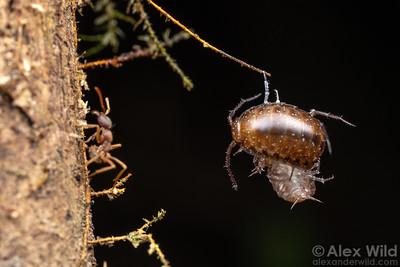 Labidus spininodis army ants hunt isopods