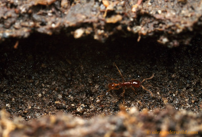 Removing the surface soil reveals an underground tunnel of Labidus coecus.  Maquipucuna Reserve, Pichincha, Ecuador