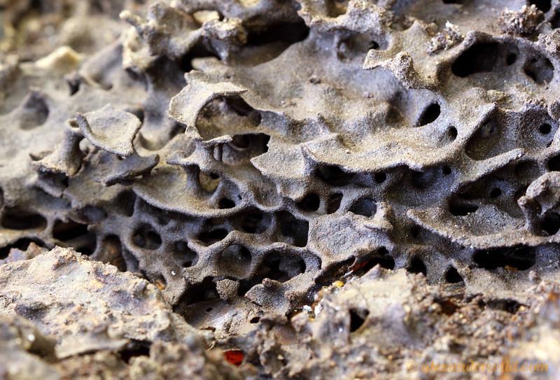 Lasius aphidicolus