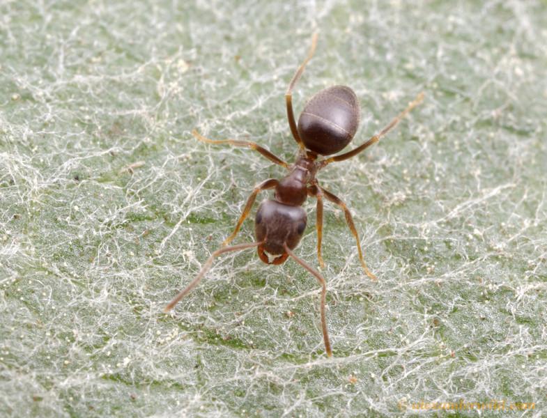 Lasius sp. nr. niger