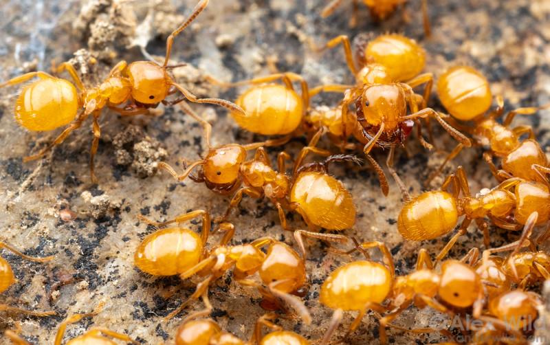Antennophorus mites on Lasius claviger