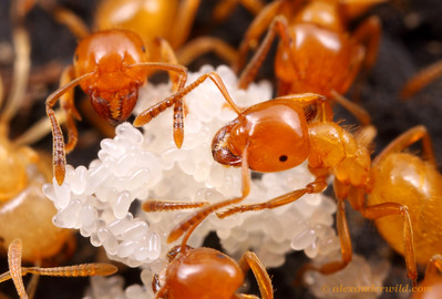 Lasius (Acanthomyops) claviger citronella ants tending to eggs.  This species maintains large colonies and requires a high reproductive rate.  Vermillion River Observatory, Illinois, USA