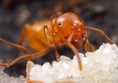 Lasius (Acanthomyops) claviger citronella ant tending to eggs.  The small eyes and pale coloration of this ant are typical for subterranean species.  Vermillion River Observatory, Illinois, USA