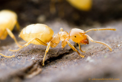 Lasius nearcticus is a common subterranean ant found in forested regions of eastern North America.  South Bristol, New York, USA