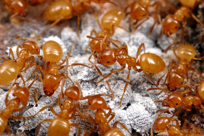 "Lasius (Acanthomyops) californicus citronella ants with their underground ""cattle"": mealybugs that produce honeydew.    Mojave National Preserve, California, USA"
