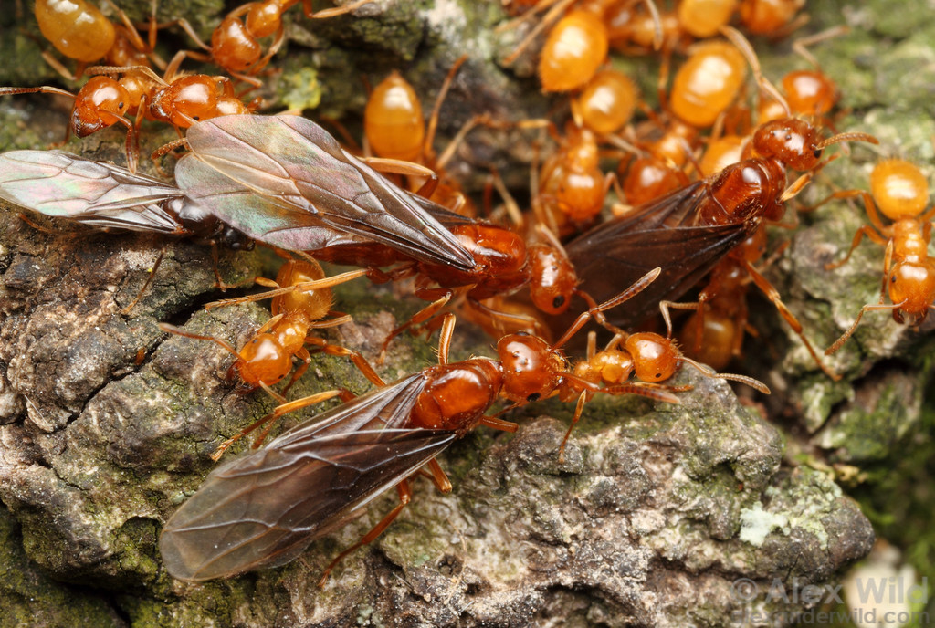 Lasius (Acanthomyops) interjectus citronella ants. Prior to a mating flight, males, queens, and workers gather at the surface. Citronella ants are normally subterranean, and the late summer flights are a rare chance to see them above ground.  Urbana, Illinois, USA
