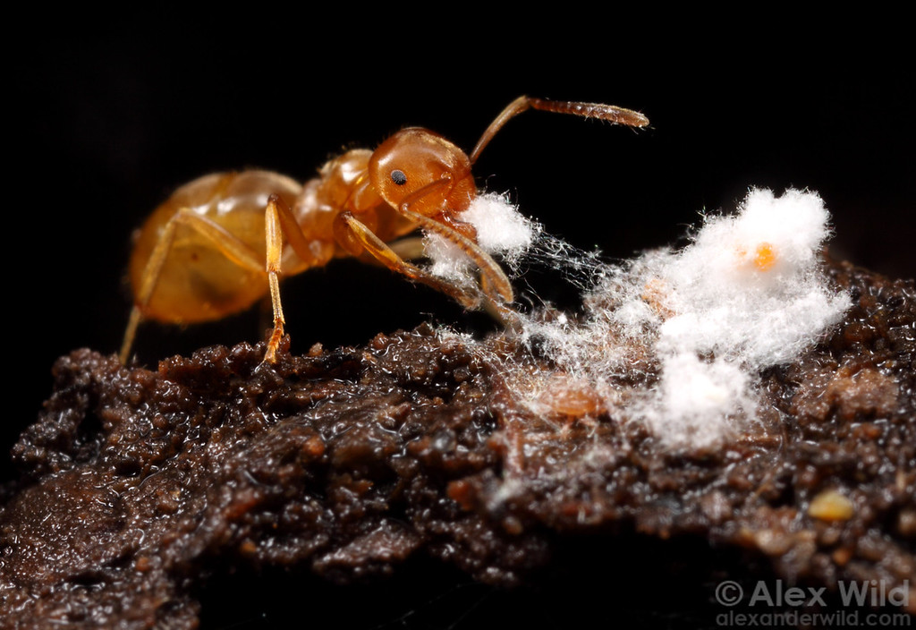 Lasius umbratus with mealybugs. 