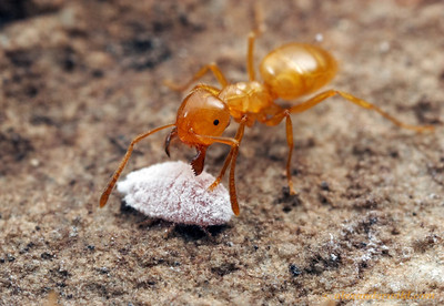 A Lasius (Acanthomyops) arizonicus citronella ant tends to a mealybug in an underground nest.  Huachuca Mountains, Arizona, USA