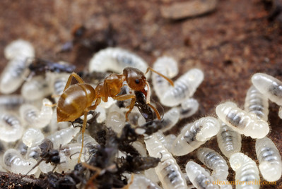 A Lasius pallitarsis worker feeds the carcasses of fungus gnats to hungry larvae in the brood nest. This species is among the most abundant ants in the Sierra Nevada.  Sagehen Creek Field Station, California, USA