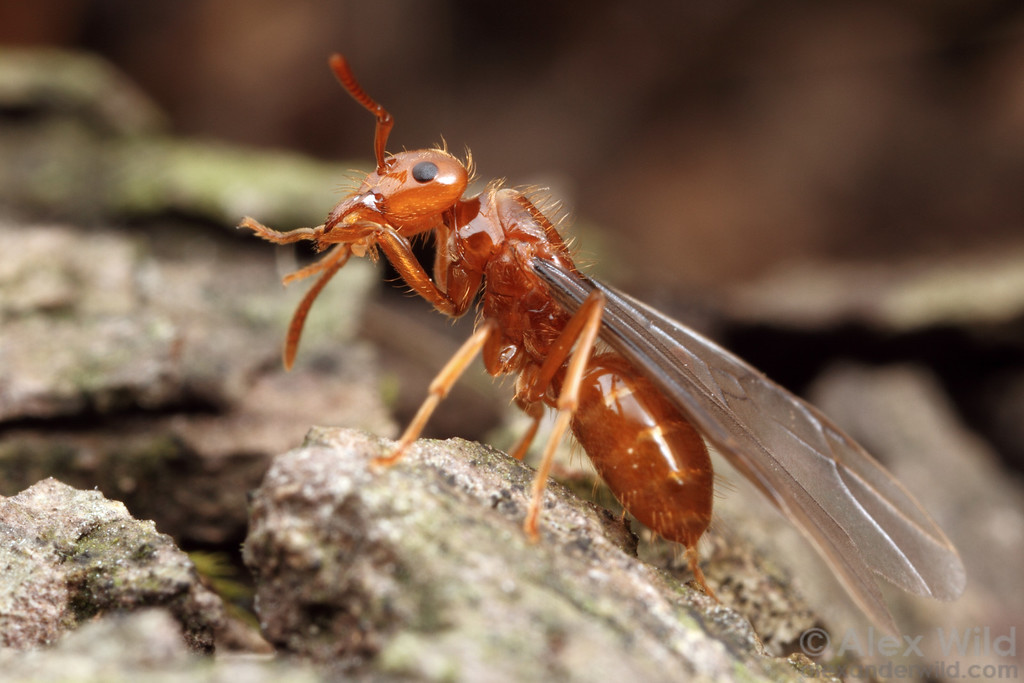 A young Lasius (Acanthomyops) interjectus gyne grooms herself before taking to the air on her mating flight.  Urbana, Illinois, USA