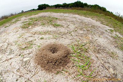 Lasius neoniger nests are often marked by a pile of excavated soil.  Gainesville, Florida, USA