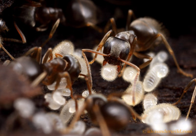 Lasius alienus workers tend to young larvae in the nest.   Urbana, Illinois, USA