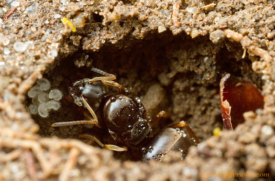 A young Lasius foundress queen raises her first crop of workers sealed in an underground chamber. She feeds the developing larvae with reserves from her own body.  South Bristol, New York, USA