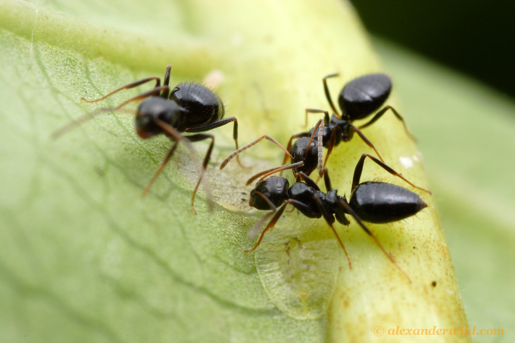 Formicine ants are often dependent on honeydew-producing insects.  Here, Lepisiota sp. workers tend to scale insects in a South African forest.  St. Lucia, KZN, South Africa