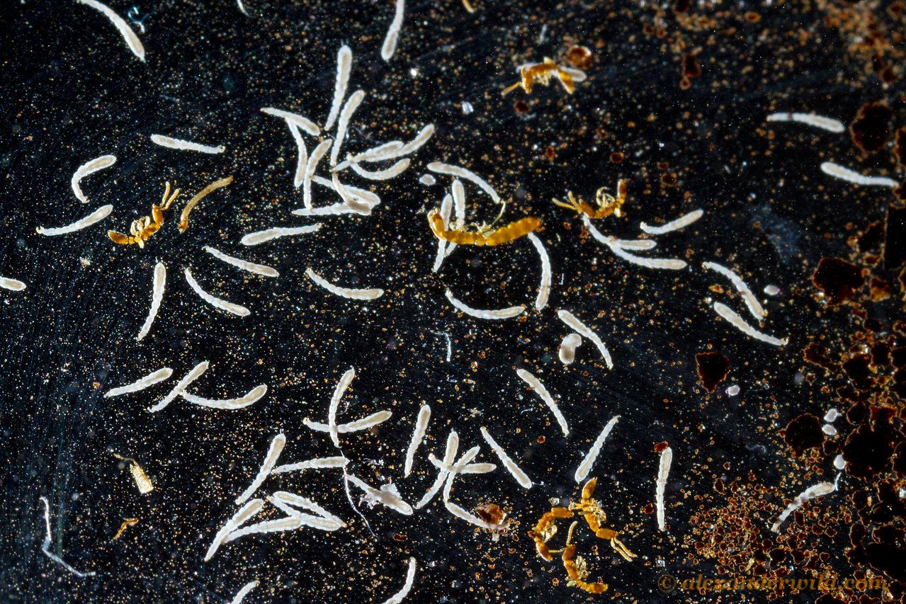 A preserved collection of a Leptanilla colony shows a queen (at center) and piles of elongate larvae.  Kibale forest, Uganda