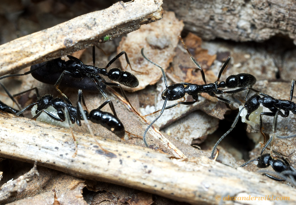 A nest migration of the ant Leptogenys diminuta forms a trail across the forest floor.  Cape York Peninsula, Queensland, Australia