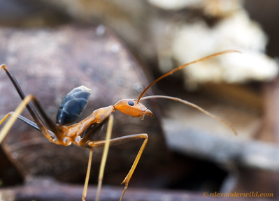 Leptomyrmex rufipes