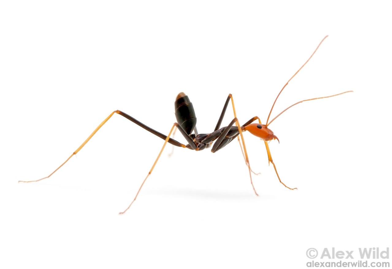 Leptomyrmex ruficeps