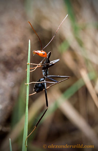 A Leptomyrmex erythrocephalus forager scales a grass blade for a better look.  Harrietville, Victoria, Australia