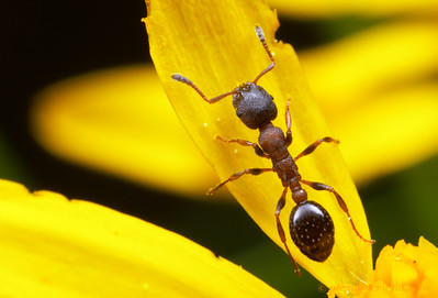 A Leptothorax calderoni worker ant forages in a meadow in California's Sierra Nevada.  Sagehen Creek Field Station, California, USA