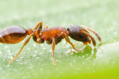 Leptothorax muscorum worker, feeding.  Stanley Park, Vancouver, Canada